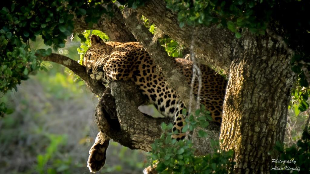 sovende-leopard